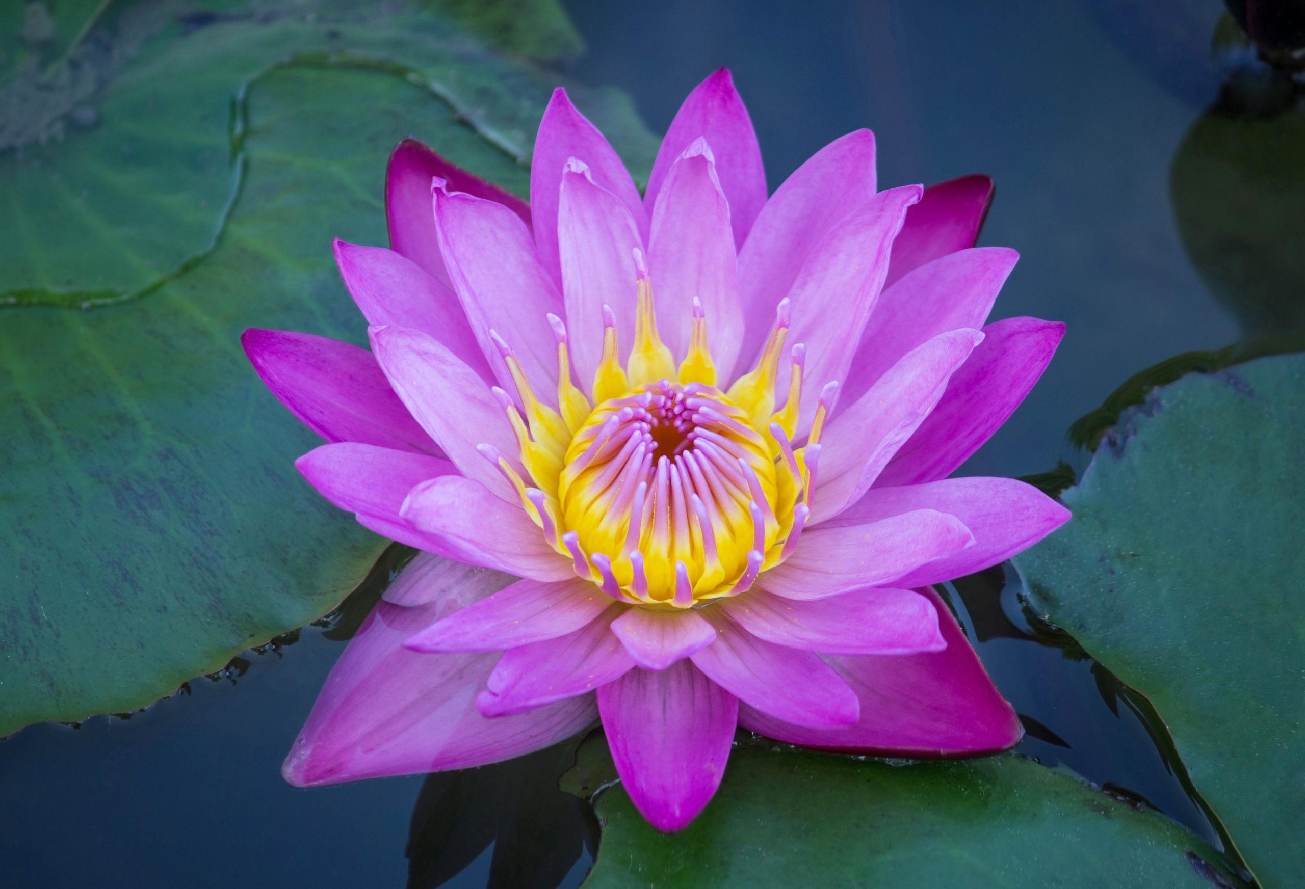 fleur de lotus bleu